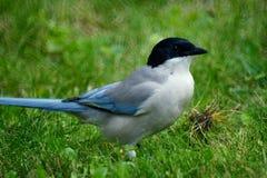 Azure-winged Magpie. (Scientific Name: Cyanopica cyana swinhoei) stand on grassplot Royalty Free Stock Image