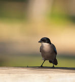 The Azure-winged Magpie Stock Photography