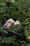 Azure winged magpie. The couple of azure winged magpies feeding each other Royalty Free Stock Photos