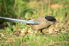 Azure-winged Magpie. The lateral picture of Azure-winged Magpie. Scientifid name: Cyanopica cyana stock image
