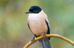 Azure-winged Magpie. Or Cyanopica cyanus with copy space for text Royalty Free Stock Images