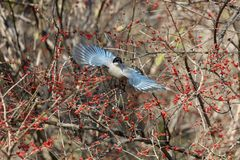 Azure winged magpie. Azure-winged magpie and fruit tree at beijing China Royalty Free Stock Image