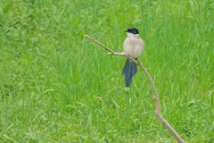 Azure-winged Magpie. An Azure-winged Magpie stands on branch. Scientifid name: Cyanopica cyanus Stock Image
