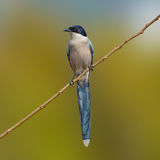 Azure-Winged Magpie bird Royalty Free Stock Photo
