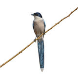 Azure-Winged Magpie bird Royalty Free Stock Photos