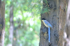 Azure-winged Magpie Royalty Free Stock Image