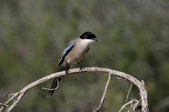 Azure-winged magpie, Cyanopica cyana Royalty Free Stock Photo