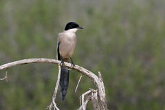 Azure-winged magpie, Cyanopica cyana Royalty Free Stock Photos