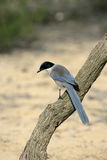 Azure-winged magpie, Cyanopica cyana Royalty Free Stock Images