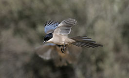 Azure-winged magpie, Cyanopica cyana Stock Image
