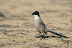 Azure-winged magpie, Cyanopica cyana Royalty Free Stock Photography