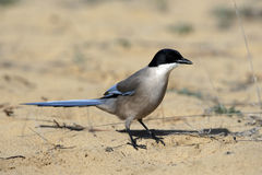 Azure-winged magpie, Cyanopica cyana Stock Photo