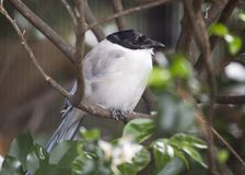 Azure-Winged Magpie Cyanopica cyanus Royalty Free Stock Image