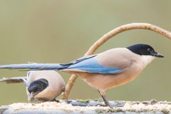Azure-winged Magpie. Or Cyanopica cyanus with copy space for text Stock Images
