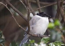 Azure-Winged Magpie Cyanopica cyanus Stock Photography