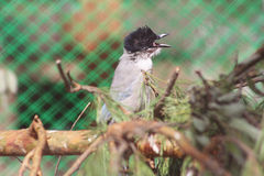 Azure winged magpie cyanopicus cyanus Royalty Free Stock Images