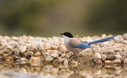 Azure-winged Magpie drinking at pool Stock Photo