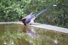 Azure-winged Magpie drinking water Stock Photos