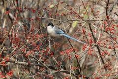 Azure winged magpie. Azure-winged magpie and fruit tree at beijing China Royalty Free Stock Photo