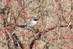 Azure winged magpie. Azure-winged magpie and fruit tree at beijing China Stock Image