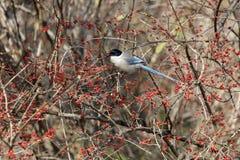 Azure winged magpie. Azure-winged magpie and fruit tree at beijing China Royalty Free Stock Photos