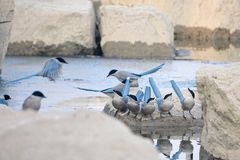 Azure-winged Magpie. A group of Azure-winged Magpie are drinking water on river bank. Scientifid name: Cyanopica cyanus Royalty Free Stock Image