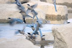 Azure-winged Magpie Royalty Free Stock Photos