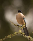 Azure-winged Magpie on lichen-covered branch Stock Photo