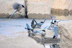 Azure-winged Magpie. Many Azure-winged Magpies drink water. Scientific name: Cyanopica cyanus Royalty Free Stock Image