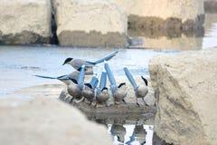 Azure-winged Magpie Stock Image