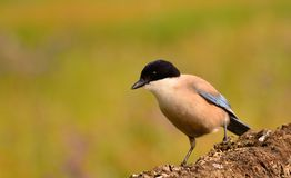 Azure winged magpie perched on a branch Royalty Free Stock Images