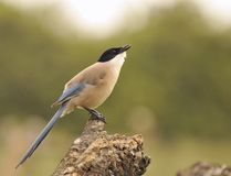 Azure winged magpie perched on a branch Stock Photography