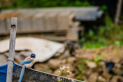 Azure-winged magpie perched on a fence Royalty Free Stock Photos