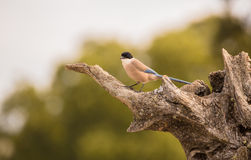 Azure-winged Magpie perching on olive-tree Royalty Free Stock Photos