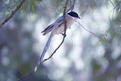 Azure-winged Magpie Stock Photo