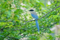 Azure-winged Magpie. The Azure-winged Magpie stands in branches. Scientifid name: Cyanopica cyana Royalty Free Stock Photos