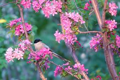 Azure-winged Magpie. An Azure-winged Magpie stands in flower branches. Scientific Name: Cyanopica cyana swinhoei Royalty Free Stock Photography