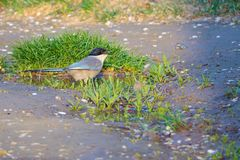Azure-winged Magpie. The Azure-winged Magpie stands in puddle. Scientifid name: Cyanopica cyanus Stock Photo