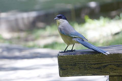 Azure-winged Magpie Stock Photos