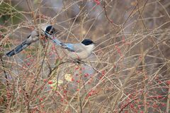 Azure-winged Magpie. Two Azure-winged Magpies stand in winter branches. Scientific Name: Cyanopica cyana swinhoei Royalty Free Stock Image