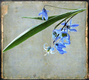 Azure wood squill flowers on vintage background Royalty Free Stock Photo
