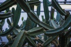 Azurea espinoso verde alto, dendrítico, espeso de la Opuntia del auberi de la Opuntia del  de ÑƒÑ del 'del ¹ ÐºÐ°ÐºÑ del ‹Ð del  fotos de archivo