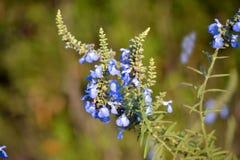 Azurea Salvia Стоковые Изображения RF