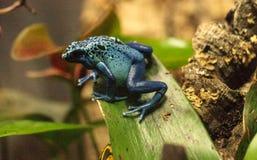 Azureus bleu de tinctorius de Dendrobates de grenouille de dard de poison Photographie stock libre de droits