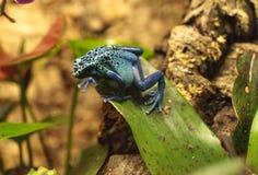 Azureus bleu de tinctorius de Dendrobates de grenouille de dard de poison Images libres de droits