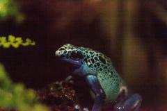 Azureus bleu de tinctorius de Dendrobates de grenouille de dard de poison Photo stock