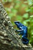 Azureus de Dendrobates - grenouille bleue de poison de dard Images libres de droits
