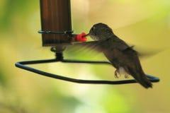 Azuurblauw-bekroonde kolibrie Stock Afbeeldingen