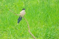 Azuurblauw-gevleugelde Ekster stock foto