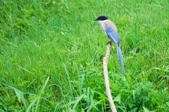 Azuurblauw-gevleugelde Ekster stock foto's